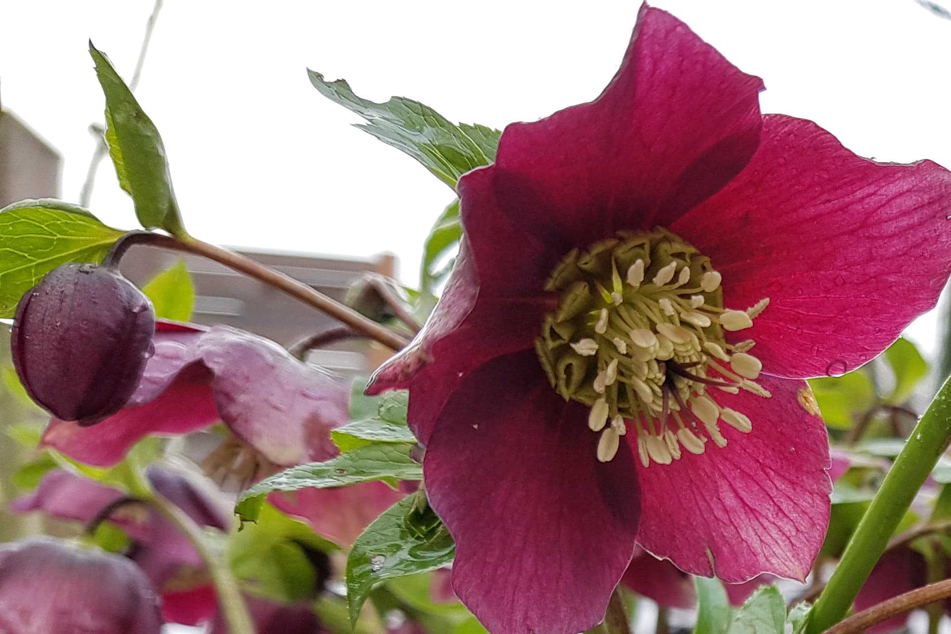 Außergewöhnlich Christrose : Helleborus niger | Florians Gartenwelt &VL_78
