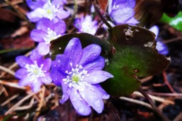 Leberblümchen: Hepatica nobilis